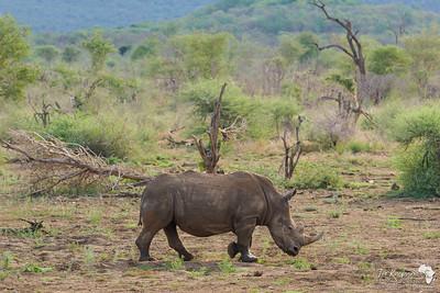 Scenic Rhino