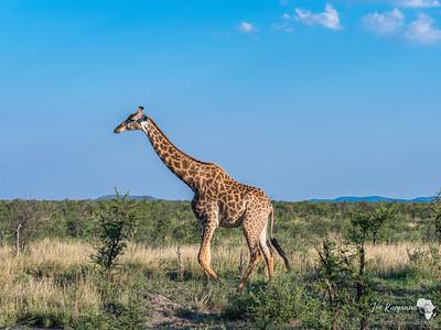 Southern Giraffe in Madikwe