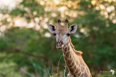 Female Giraffe in morning light