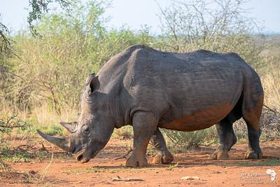 A huge bull white rhino