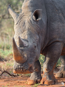 Red rust on a Rhino