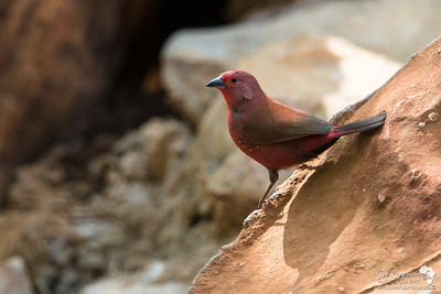 Male Jameson's firefinch