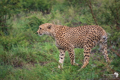 The rain doesn't stop these cheetahs daily business of patrolling their territory and hunting