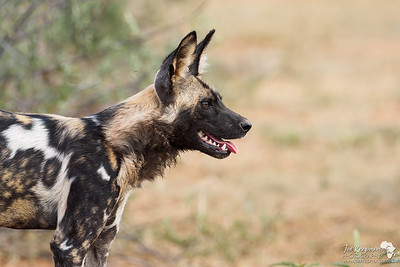 Profile of a Painted Dog