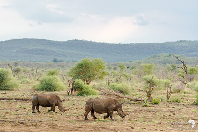 Rhinos in the Valley