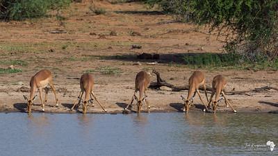 Impala Synchronous Drinking