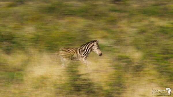 Zebra Foal Practicing his running