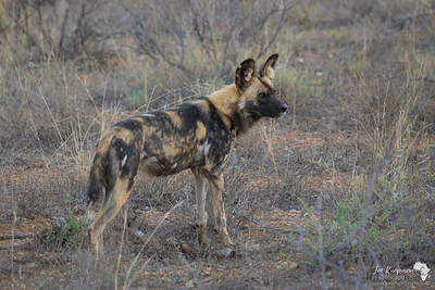 Wild Dog on Alert