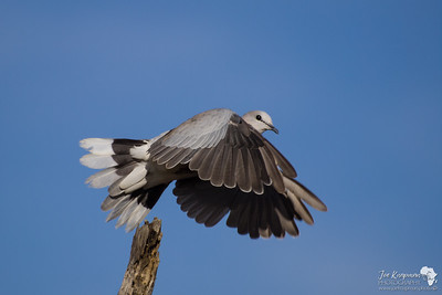 Collared Dove in Flight