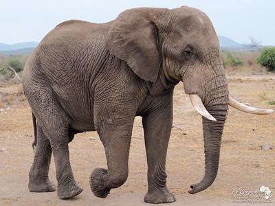 Old Bull Elephant Profile