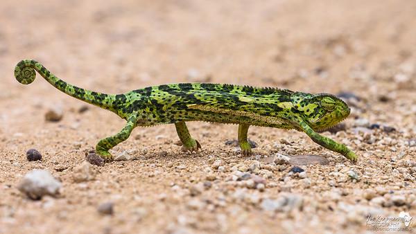 Chameleon Crossing
