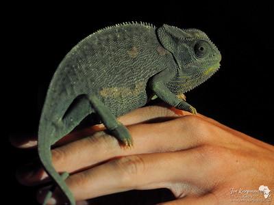 Chameleon at Night