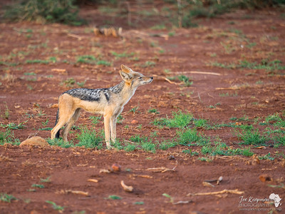 Black Backed Jackal smelling the air