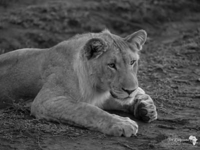 BW Lion Cub