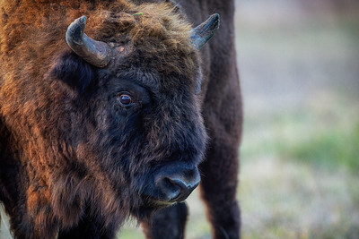 Visent (European Bison)