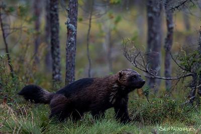 Wolverine - Jerv