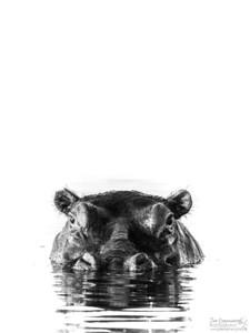 monochrome Hippo - Portrait