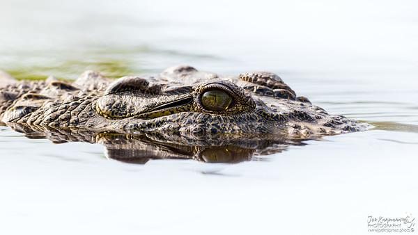 Silky glide of a Nile Crocodile