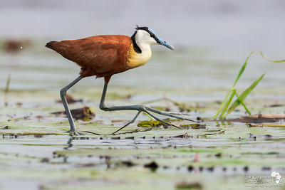 Low down with a Jacana