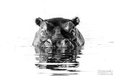 monochrome Hippo - Landscape