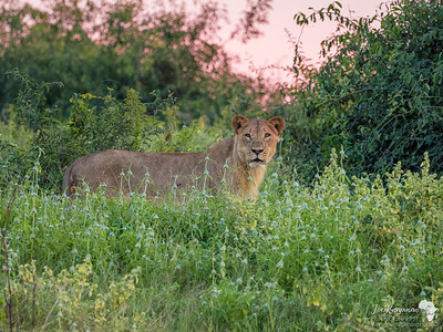 Lion heading out at dusk