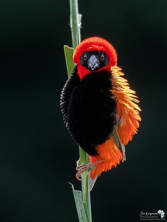 Southern Red Bishop in all his Glory