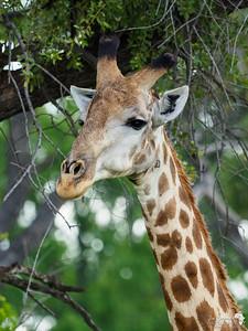 Male Southern Giraffe Portrait