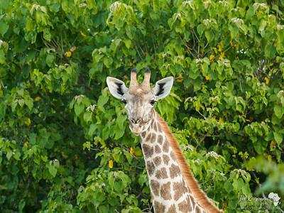 Female Southern Giraffe