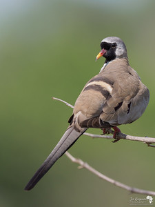 Namaqua Dove looking back