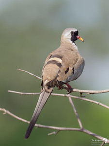 Namaqua Dove Portrait