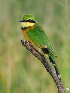 Little Bee-eater portrait