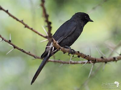 Black Fly Catcher