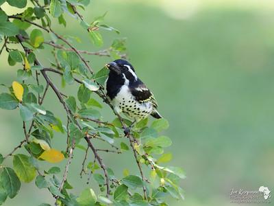 Spot-flanked Barbet