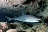 Whitefin Reef Shark