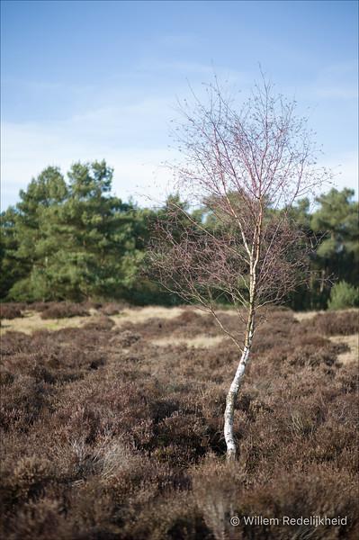 Birch and Heath