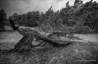 Broken Tree in HDR