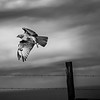 Red Tailed Hawk, Point Reyes CA