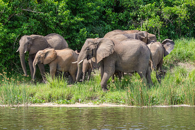 Breeding herd of elephants on the River Nile
