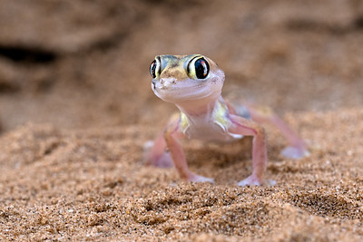 The gorgous web-footed Gecko