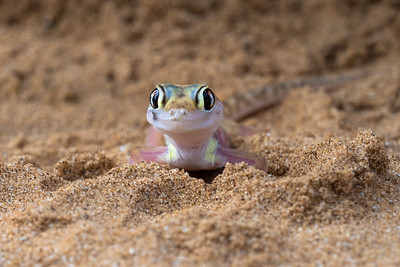 Portrait of a web-footed gecko