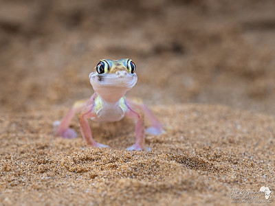 The Namib sand gecko - or web-footed Gecko
