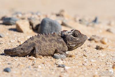 Namaqua Chameleon recently shedded