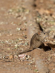 Four Striped Mouse