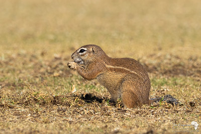 Ground Squirrel snacking