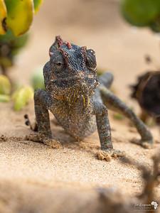 Namaqua Chameleon Portrait