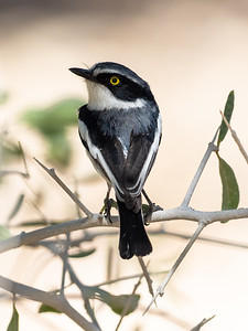 Male Chinspot Batis