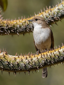 Marico Flycatcher in a Thorny pose