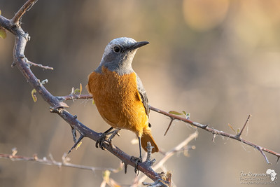 Male Short Toed Rock Thrush