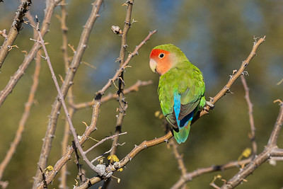The ever stunning Rosy-faced Lovebird