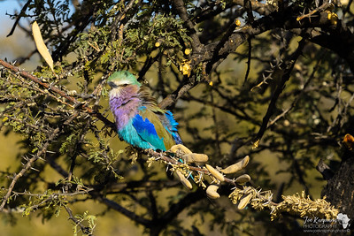 Lilac-breasted Roller hiding out in Windhoek